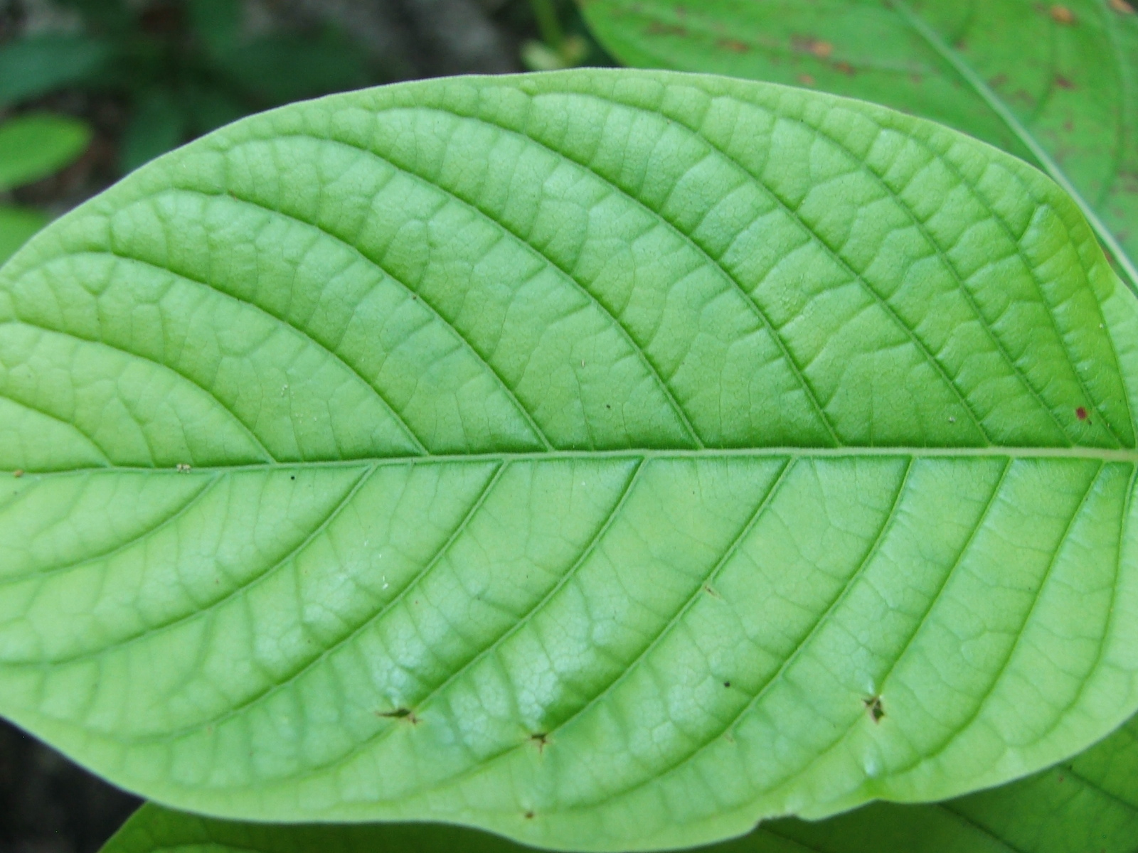The Health Benefits of Kratom
